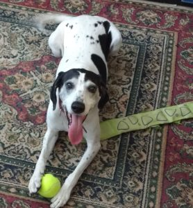Super happy dog with ball and other toys.